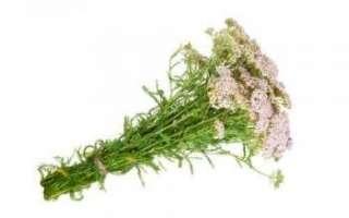 Тысячелистник – описание с фото растения; его полезные свойства и противопоказания к применению; использование травы для лечения и в кулинарии