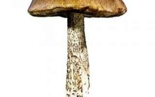 Подберёзовик — описание состава этого белого гриба, его фото