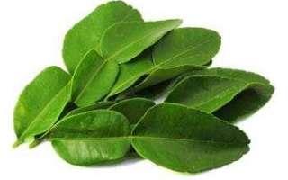 Листья лайма – описание с фото; выращивание, сбор и хранение; свойства листьев каффир-лайма и их применение в кулинарии и лечении
