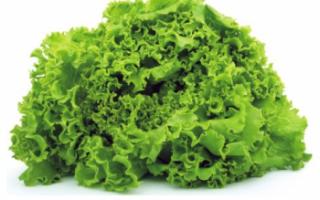 Салат батавия – описание с фото растения; его выращивание и полезные свойства; польза и вред; применение в кулинарии и медицине; рецепты блюд