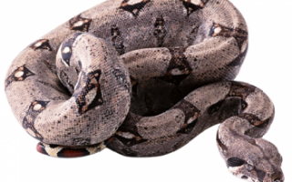 Описание мяса змеи, его вкуса и состава с фото, чем полезно такое мясо и как его нужно готовить