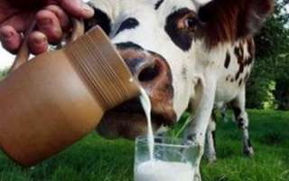 Коровье молоко — состав, польза и вред