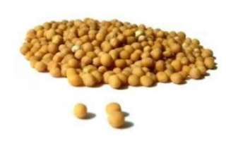 Горчица белая (английская) — калорийность, польза и выращивание