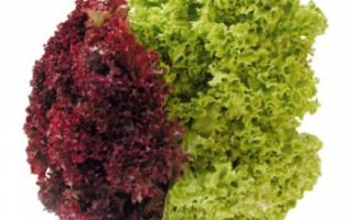 Салат лолло росса – описание с фото продукта; полезные свойства листового салата; его использование в кулинарии; рецепты блюд