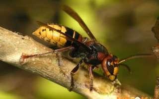 Как избавиться от гнезда шершней и отдельных особей в доме и на даче?