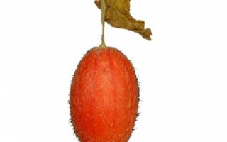 Тладианта (красный огурец) — описание лианы и ее плодов с фото; полезные свойства, вред и противопоказания; использование в кулинарии