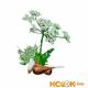 Бутень клубненосный – описание с фото травы; полезные свойства растения и противопоказания; использование в кулинарии и медицине