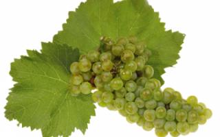 Виноград Шардоне (Chardonnay) – применение, описание и польза