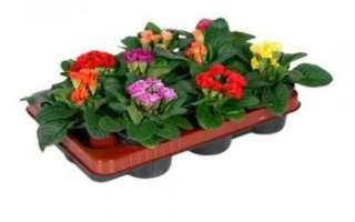 Примула – описание с фото растения; лечебные свойства цветка и его масла; польза и вред; применение для лечения и кулинарии