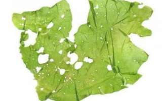 Описание с фото водоросли ульва; её полезные и вредные свойства, противопоказания к употреблению; использование морского салата в кулинарии