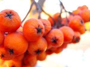 плоды красной рябины