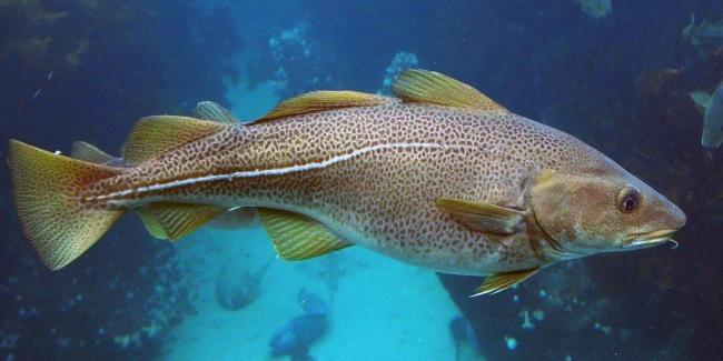 живая рыба треска
