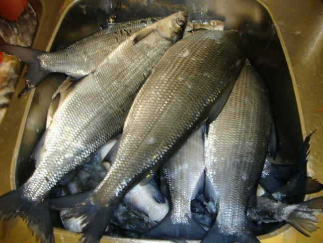 много свежей рыбы сиг