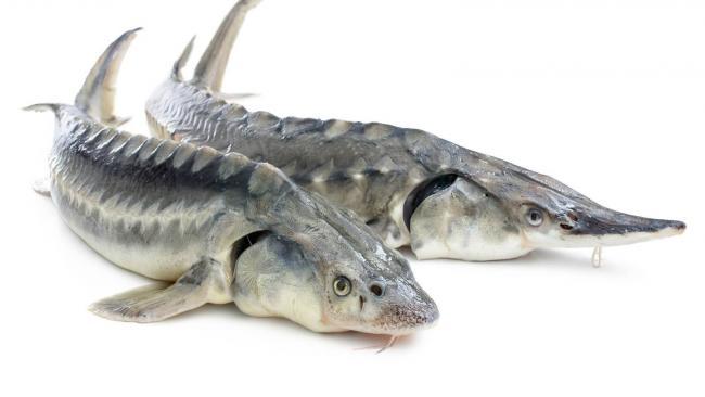 две рыбы осетр